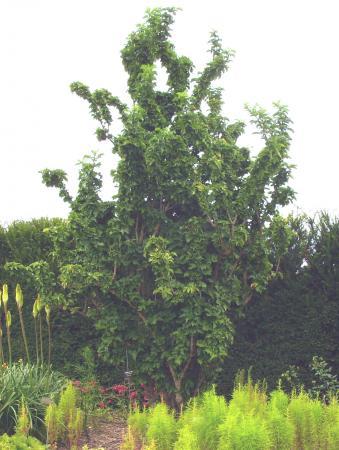 Sambucus nigra 'Compressa'