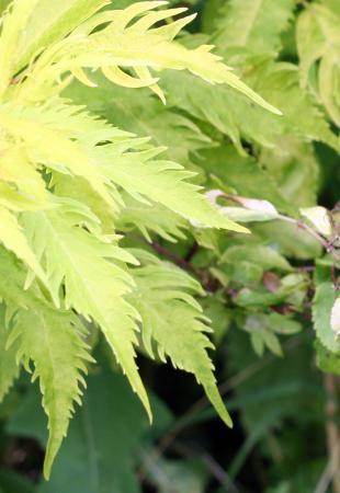 S. racemosa 'Plumosa Aurea'