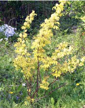 Sambucus racemosa, variétés