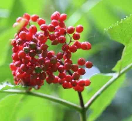 Fruits presque mûrs
