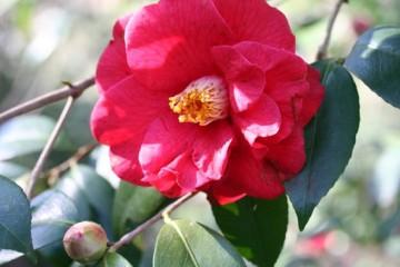 medium_Camellia_Adolphe_Audusson_.jpg