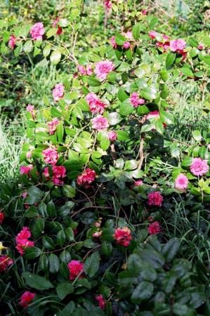 medium_Camellia_Mme_Martin_Cachet.jpg