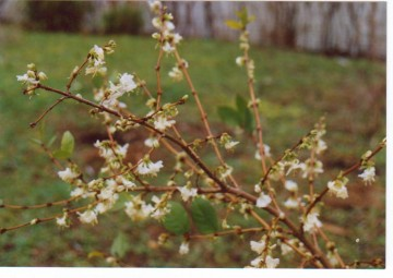 medium_Lonicera_fragrantissima.jpg
