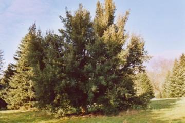 medium_Quercus_suber.jpg