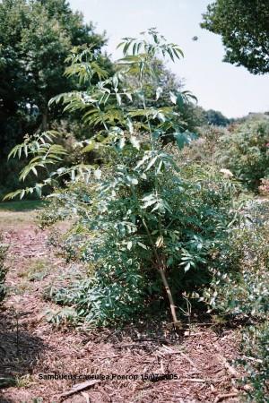 medium_S._caerulea_Poerop_arbuste.JPG
