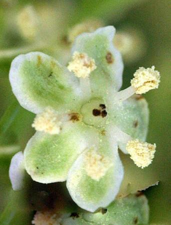 medium_S._caerulea_fleur.jpg