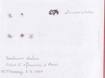 medium_S._ebulus_fleurs_herbier.jpg