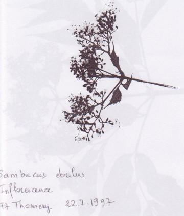 medium_S._ebulus_inflorescence_herbier.jpg