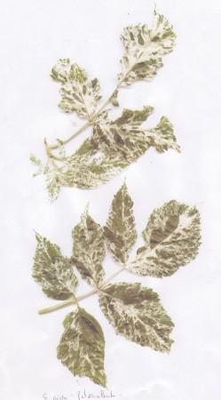 medium_S._nigra_Pulverulenta_feuilles.jpg