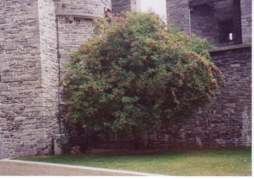 medium_S._nigra_au_chateau_de_Gand_1997.jpg