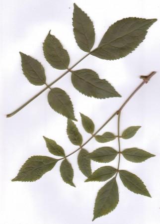medium_S._nigra_feuilles.jpg