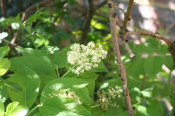 medium_S._sachalinensis_fleurs_le_9_avril.jpg
