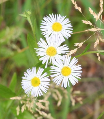 medium_asters_forêt_17_juin_018.jpg