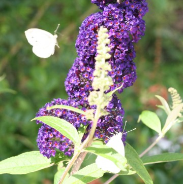 medium_buddleja_20_juin_017.jpg