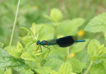 medium_demoiselle_bleue_31_mai_086.jpg