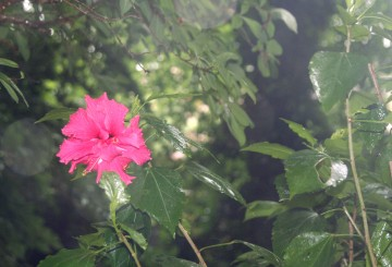 medium_hibiscus_17_juin_004.jpg