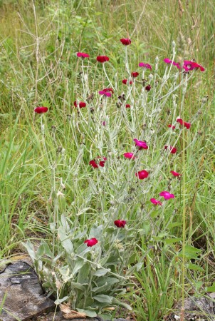 medium_lychnis_17_juin_003.jpg