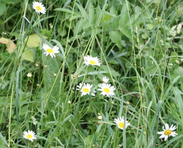 medium_marguerites_27_mai_013.jpg