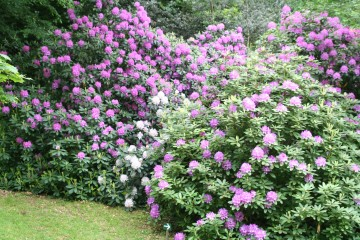 medium_massif_de_rhodo_19_mai_006.jpg