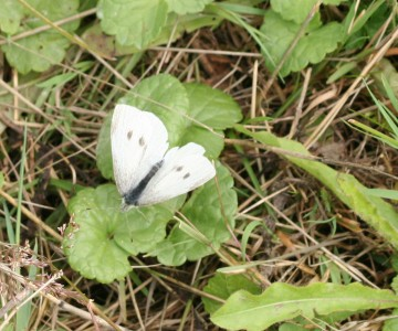 medium_papillon_blanc_20_juin_010.jpg