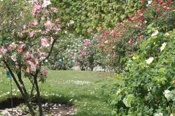 medium_roses_24_av_002.jpg