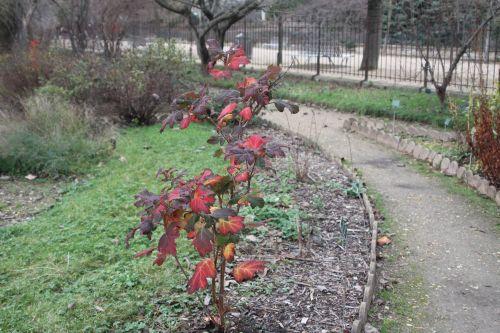 1 hydrangea quercifolia paris 24 déc 2012 077.jpg