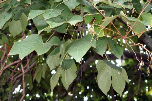 firmiana feuilles paris 26 sept 2010 238.jpg