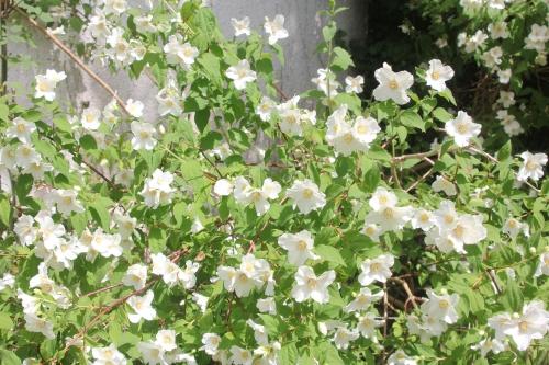 5 philadelphus x lemoinei  veneux 31 mai 2017 036 (2).jpg