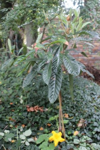 4 eriobotrya oliver veneux 10 oct 2015 001 (1).jpg
