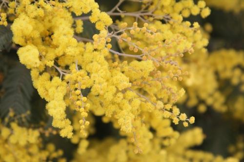 acacia decurrens paris 18 mars 2015 144 (6).jpg