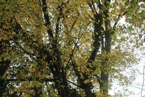 14 carpinus veneux 6 nov 2015 021.jpg