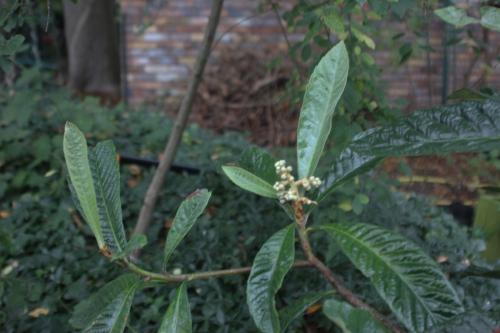 5 eriobotrya oliver veneux 10 oct 2015 001 (2).jpg