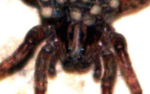 araignée tête 19 juil 2010 004.jpg
