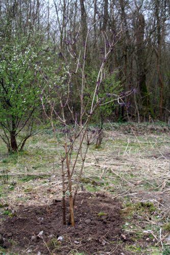 4 black lace transplanté romi 2 avril 029.jpg