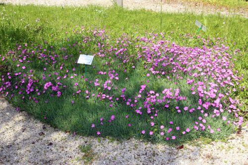 1 dianthus corsicus marnay 1 juin 2013 030.jpg