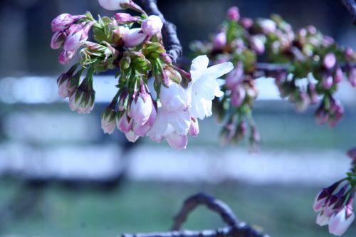 shirotae fleurs paris 23 mars 133.jpg