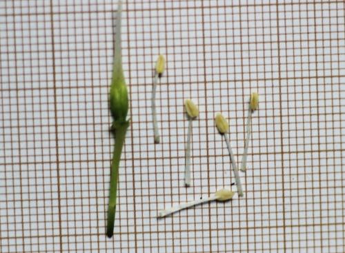 7 staphylea colchica 27 avril 2015 017.jpg