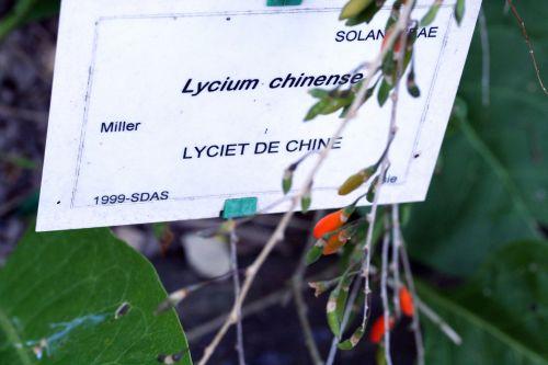5 lycium étiquette marnay 25 sept 2008.jpg