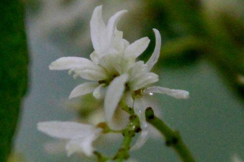 7 fraxinus ornus gb 18 mai 2013 026 (3).jpg