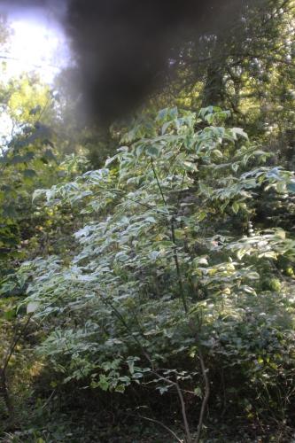 4 acer negundo variegatum romi 27 sept 2016 016 (1).jpg