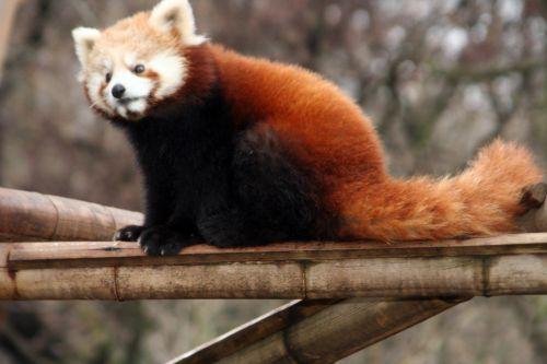 petit panda 9 fev 057.jpg