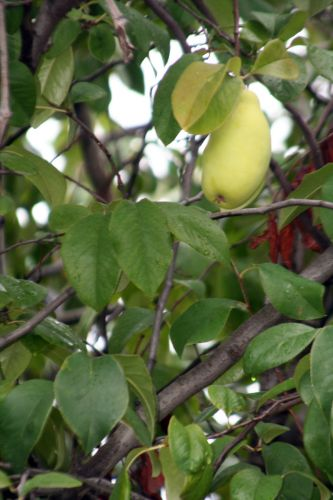 pseudocyd fruit paris 26 sept 2010 247.jpg