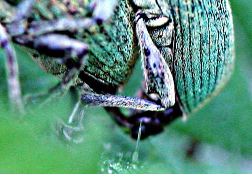 phyllob détail pp romi 17 mai 071.jpg