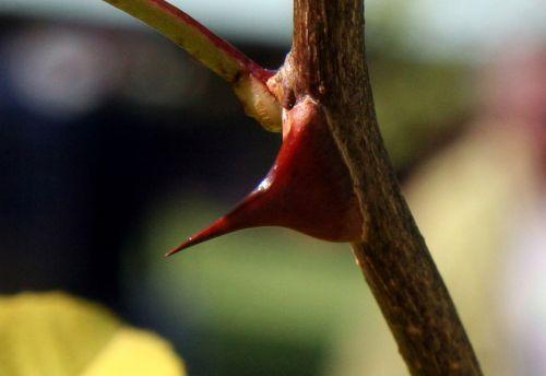 zantho sim épine arbofolia 9 oct 2010 006.jpg