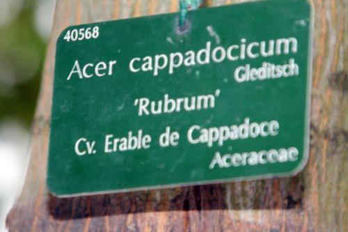 e acer cappadocicum paris 10 nov 2012 052.jpg