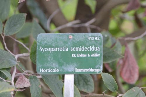 sycoparrotia semidecidua paris 31 janv 2015 031.jpg