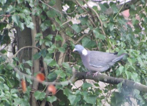 4 pigeon ramier veneux 15 janv 2016 020.jpg