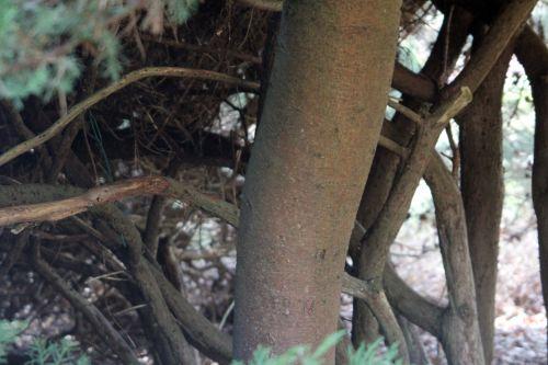 juniperis sqiamata gb 25 mars 2012 146 (6).jpg