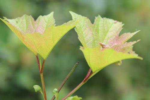 5 viburnum op roseum romi 1 juil 2014 007 (2).jpg