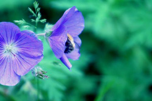 geranium bourdon romi 29 mai 012.jpg